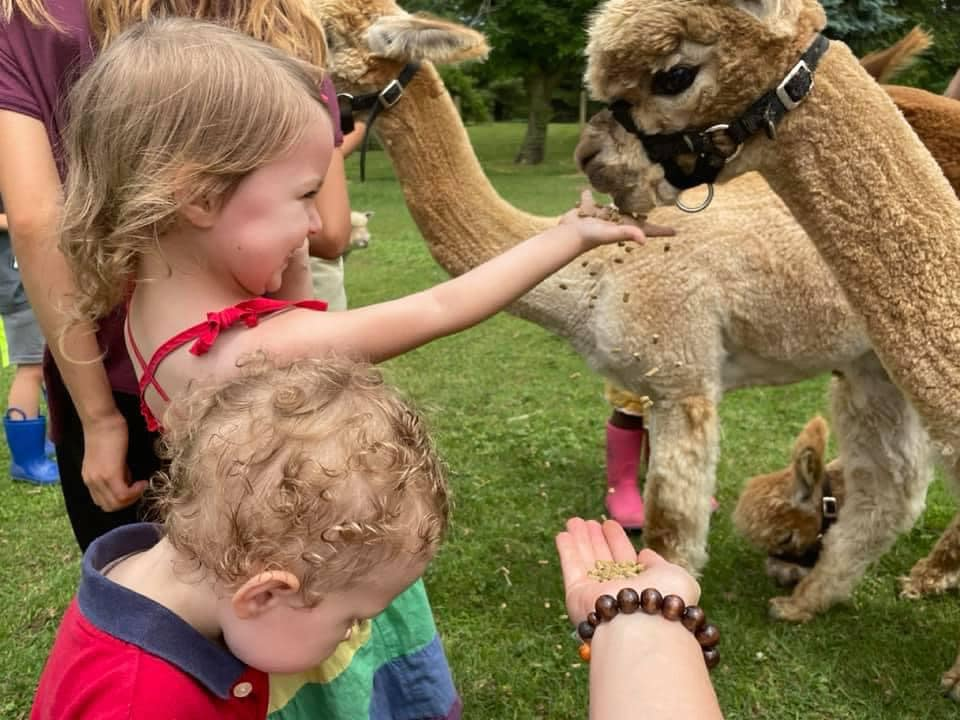 A couple of small children pet two baby alpacas.
