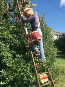 Atlas Apple Picker-Hugus Fruit Farm-Rushville.2